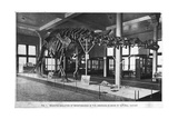 Brontosaurus Skeleton  American Museum of Natural History  New York  USA  Early 20th Century