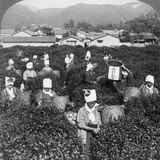 Tea-Picking in Uji  Japan  1904