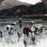 Transplanting Rice in a Paddy Field  Japan  1904