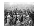 Sugar Cane Cutters  Jamaica  C1905