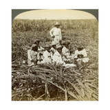 On 'La Union' Sugar Plantation  San Luis  Santiago Province  Cuba  1899