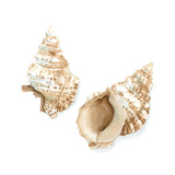 Watercolor Shells VII