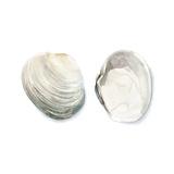 Watercolor Shells II