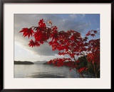 A Maple Tree in Fall Foliage Frames a View of Barnard Harbour