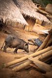 Pig in a Village Papier Photo par EvanTravels