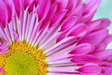 Fuschia Bloom