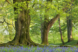 Beech and Oak Trees Above a Carpet of Bluebells in a Woodland  Blackbury Camp  Devon