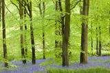 Common Bluebells (Hyacinthoides Non-Scripta) Flowering in a Beech Wood