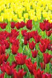Tulips at KeUKenhof Gardens, Duin- En Bollenstreek, the Netherlands Papier Photo par Nadia Isakova