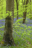 Bluebell Carpet in a Beech Woodland  West Woods  Wiltshire  England Spring
