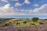 Exmoor Ponies Grazing on Heather Covered Moorland on Porlock Common  Exmoor  Somerset