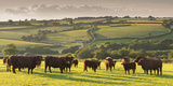 North Devon Red Ruby Cattle Herd Grazing in the Rolling Countryside  Black Dog  Devon
