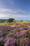 Heather in Flower on Porlock Common  Exmoor National Park  Somerset  England Summer (August)