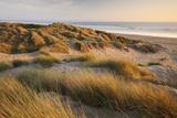 Marram Grass on the Sand Dunes of Braunton Burrows  Looking Towards Saunton Sands  Devon