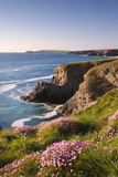 Flowering Sea Thrift (Armeria Maritima) on the Cornish Clifftops Near Porthcothan  Cornwall