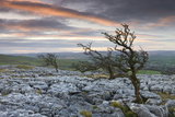 Twisted Hawthorn Trees Growing Through the Limestone Pavement on Twistleton Scar  Yorkshire