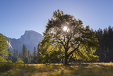 Half Dome and Elm Tree in Cooks Meadow  Yosemite Valley  California  USA Autumn (October)