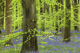 Bluebell Carpet in a Beech Woodland  West Woods  Lockeridge  Wiltshire  England Spring