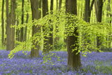 Bluebells and Beech Trees in West Woods  Wiltshire  England Spring (May)