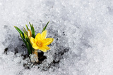 Yellow Crocus in Snow