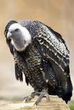 Vulture Full Length Plumage