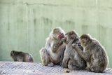 Japanese Macaques Ridding of Fleas