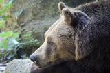Italian Brown Bear Meditating