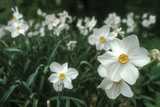 Daffodil Field