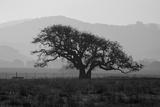 Dark Oak Silhouette  Petaluma California