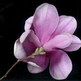 Magnolia Bloom on Black Background