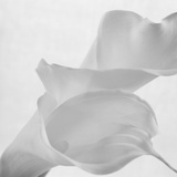 Black and White Calla Study
