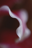 Stargazer Lily Abstract
