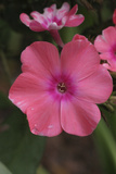 Pink Phlox Bloom