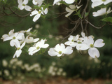 Dogwood Branch with Blooms