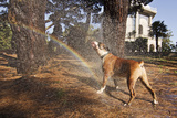 Boxer Dog Having a Shower in the Park