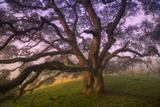 Majestic Wild Oak  Petaluma  California