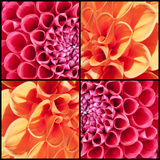Square Collage of Orange and Pink Dahlias