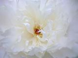 Peony Abstract
