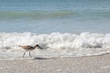 Sandpiper Shore Bird Walking in Ocean on Beach