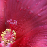 Red Hibiscus Abstract