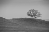Lone Oak on Hillside  Petaluma California