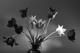 Black and White Tulip Study