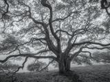 Wild Oak Tree in Black and White, Petaluma, California Aluminium par Vincent James