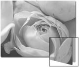Black and White Rose Detail