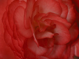 Red Begonia Abstract