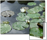 Pond with Waterlily