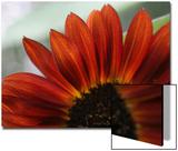 Red Sunflower Closeup