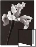 Iris in Sepia Tone