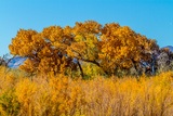 Beautiful Fall Foliage on Cottonwood Trees along the Rio Grande River in New Mexico