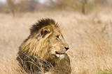 Wild Male Lion in the Bush  Kruger  South Africa